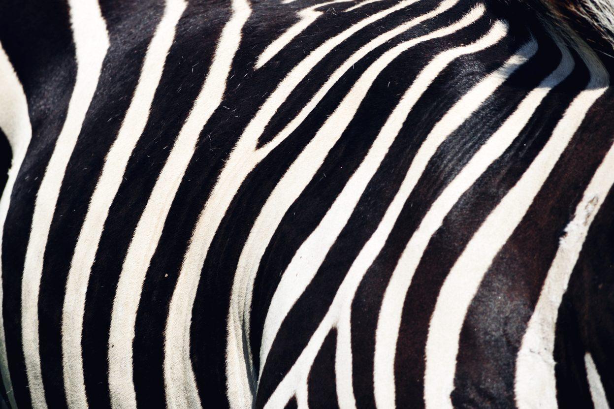 Zebra Tierpark Nadermann CeSER