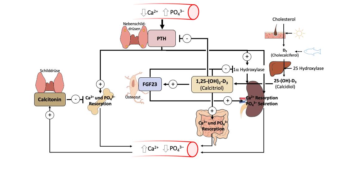Regulation des Kalzium-Phosphat-Stoffwechsels